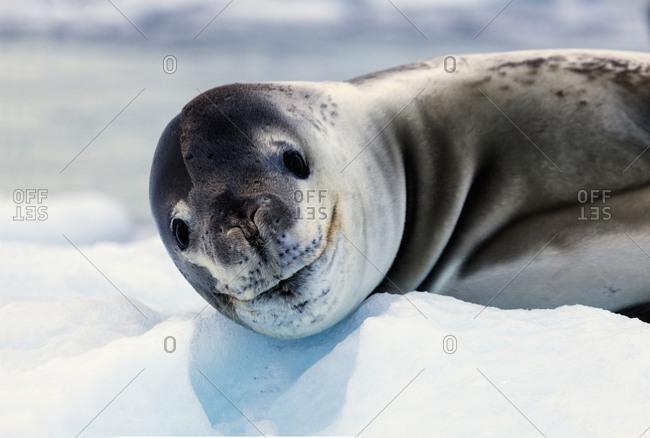 Portrait of seal