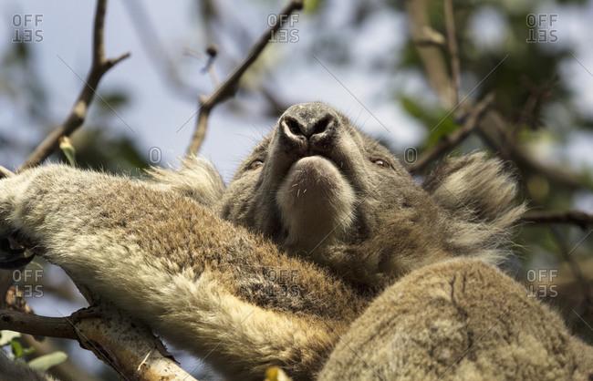 Low angle of Koala on tree