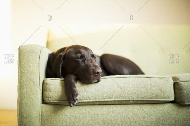 Chocolate Labrador resting on sofa