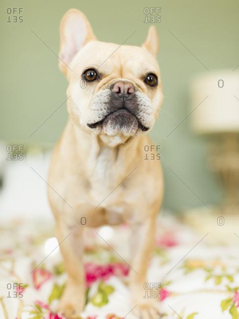 Studio shot of French bulldog on bedding