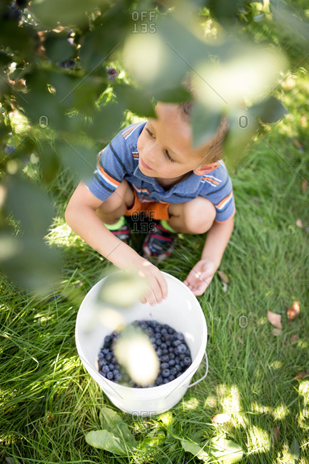 Overhead view of a young boy picking blueberries