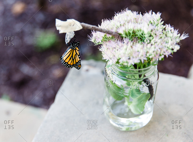 A butterfly emerges from its chrysalis