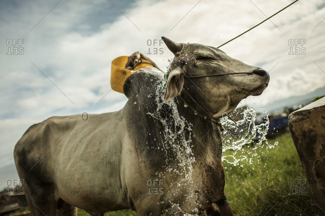 A local Shan Taungyo refreshing his cow with water in Burma