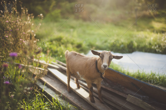 Portrait of a brown goat