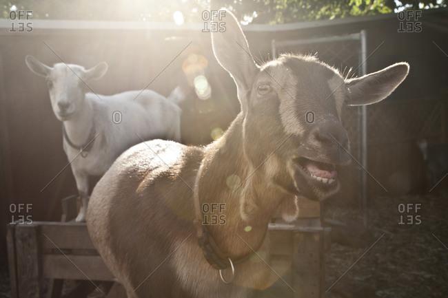 A goat bleats at a farm