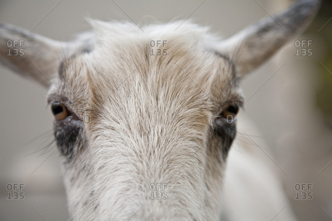 A goat stands against a gray background