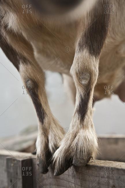 A goat balances on a post