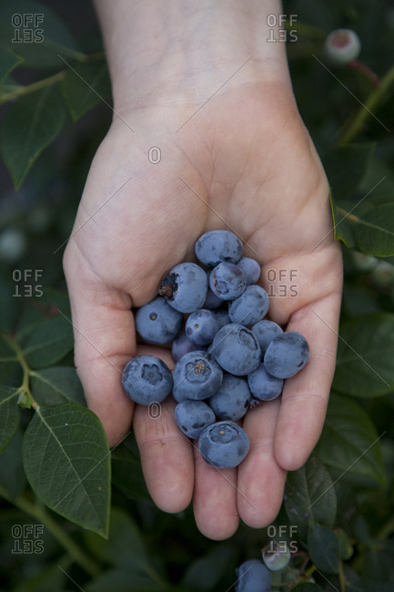 A hand displays blueberries