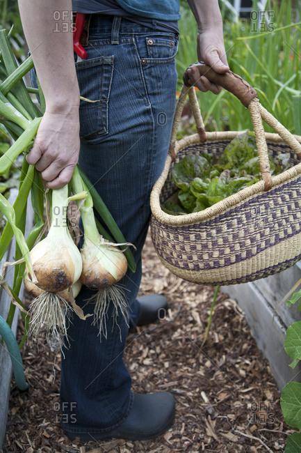 A woman harvests vegetables