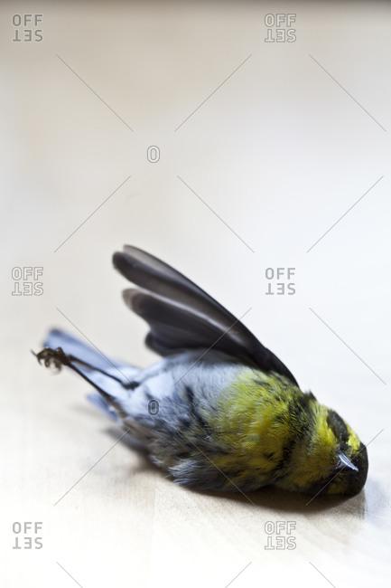 A dead bird lies on a table