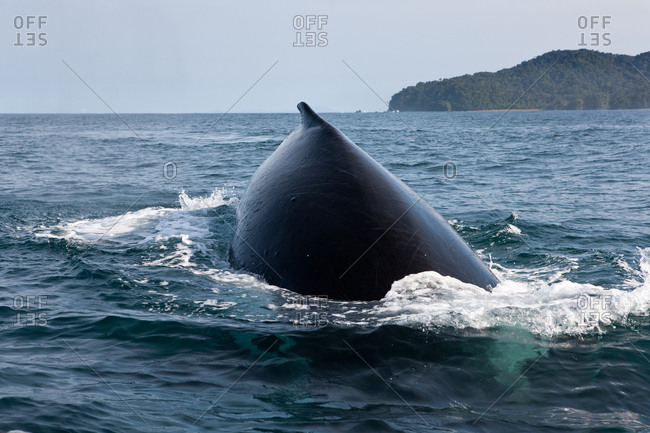 Humpback whale Plunging