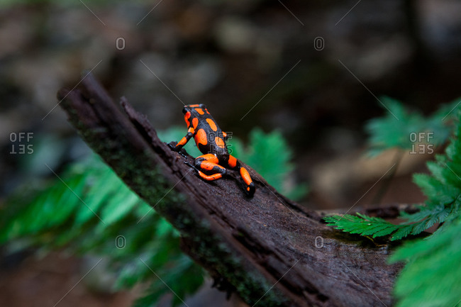 Dart Frog on a trunk