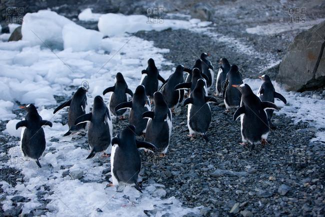 Penguins Running