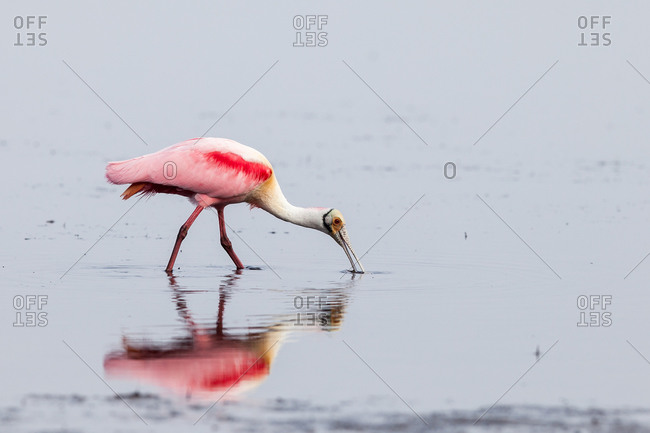 A roseate spoonbill drinking in water