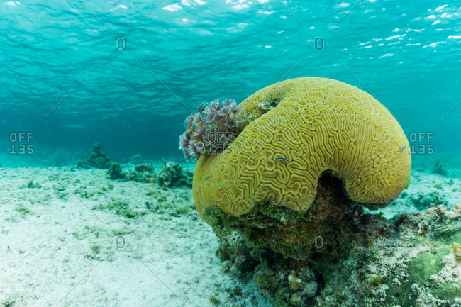 Brain coral in shallow water