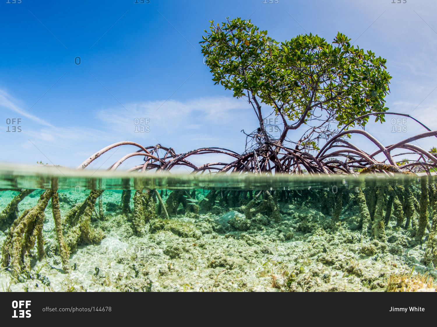 Mangrove Tree Above And Under Water Stock Photo Offset