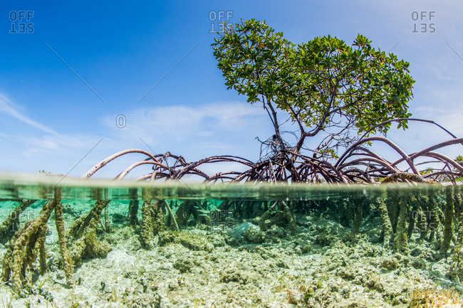 Mangrove tree above and under water