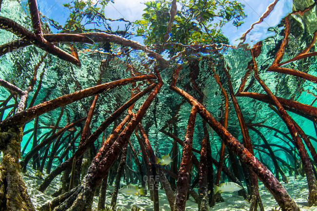 A mangrove tree root system in water