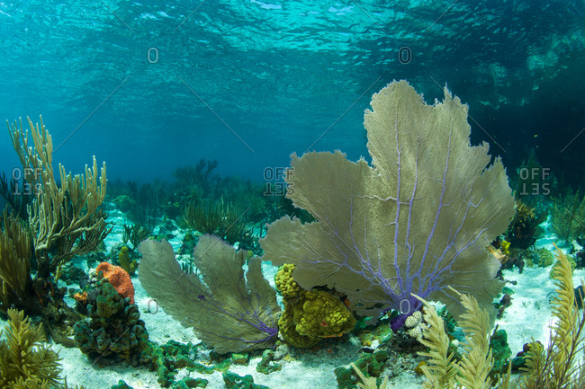 Octocoral in shallow Caribbean water