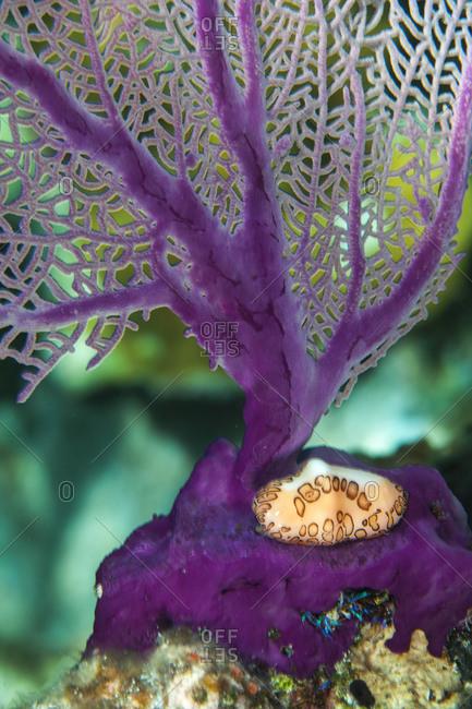 Purple octocoral leaf