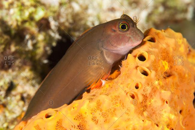 Tailspot benny on coral