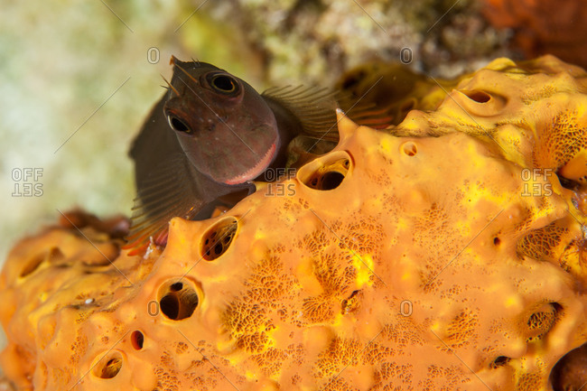 Tailspot benny resting on coral