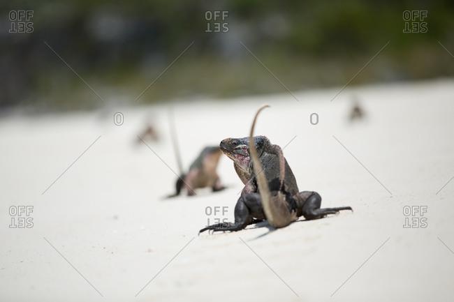 Iguana on beach with tail raised