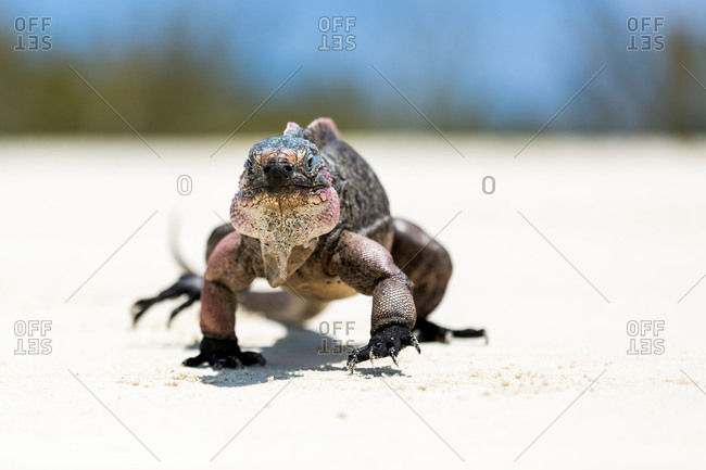 Iguana walking on sand