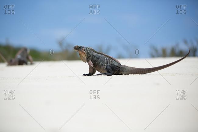 Iguana sitting on sand