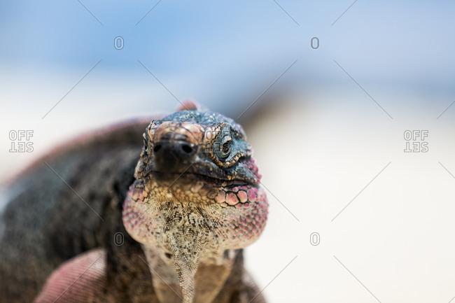 Close up of iguana on sand