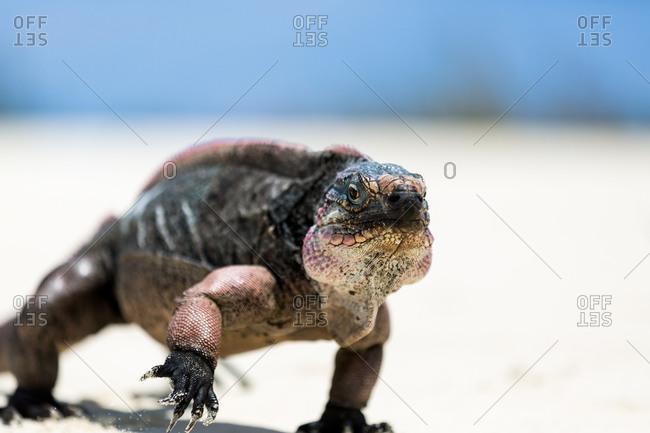 Iguana walking along sand