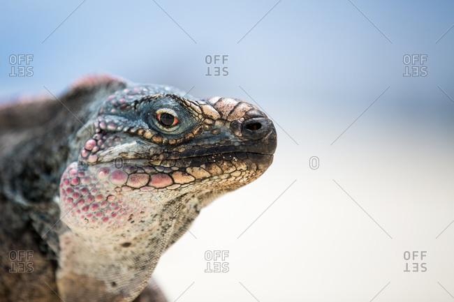 Iguana's face