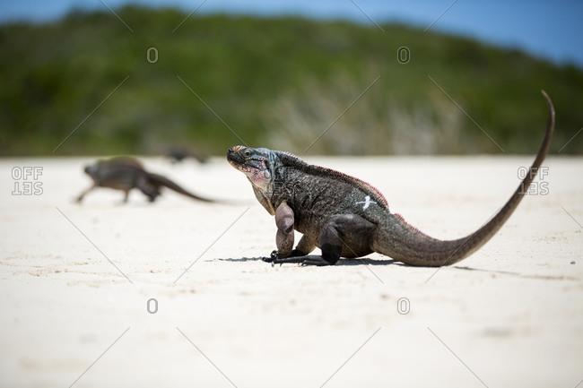 Iguana resting on beach