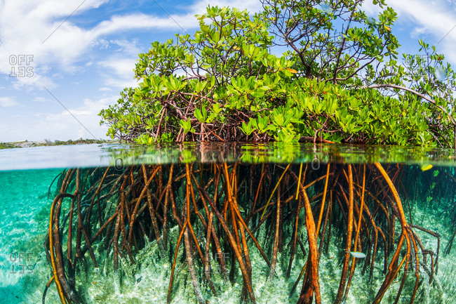 A mangrove tree and its root system