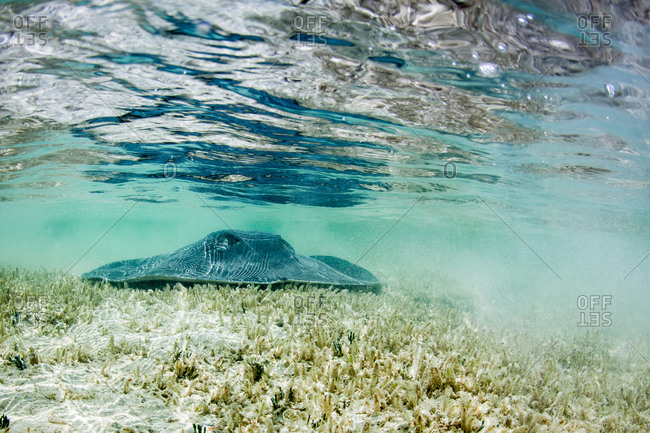 A stingray on ocean floor