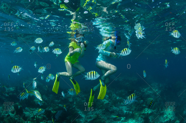Snorkelers floating among sergeant major fish