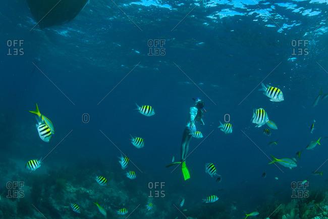 Swimmer among sergeant major fish