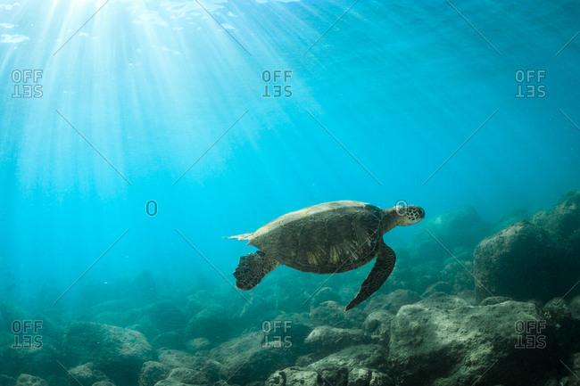Sea turtle swimming over rocky sea floor
