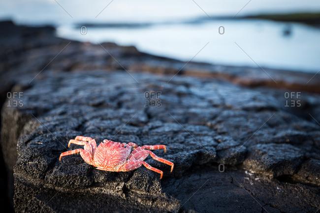Crab resting on hardened lava