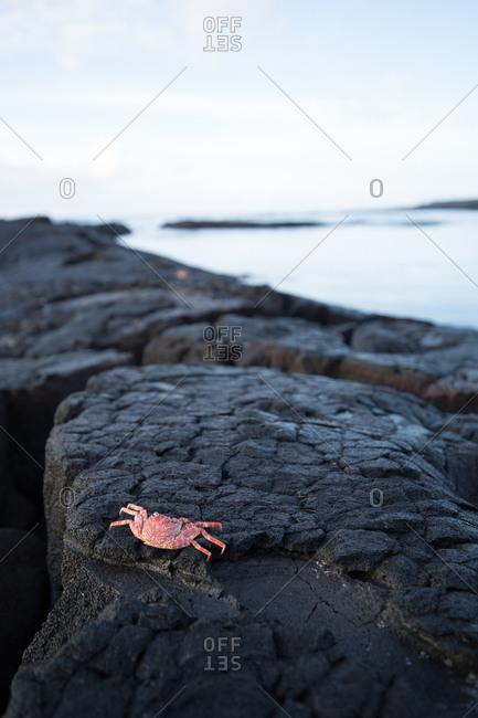 Crab on hardened lava