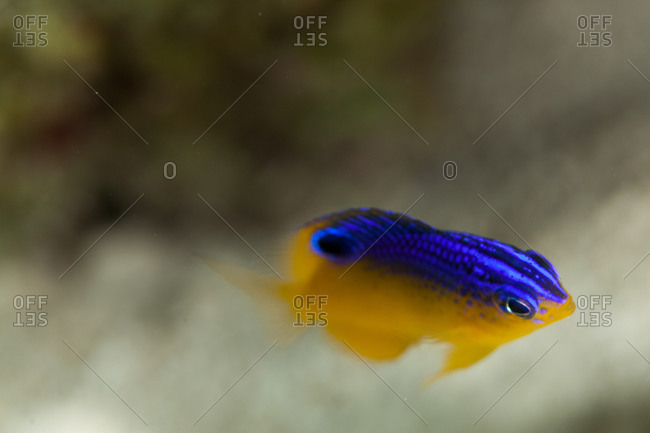 Brightly colored Caribbean fish - Offset