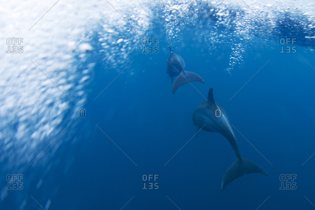 Underwater view of dolphins swimming