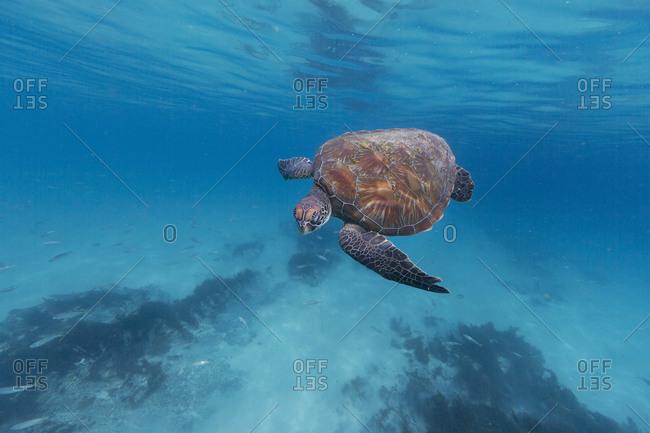 A loggerhead sea turtle swims through the ocean
