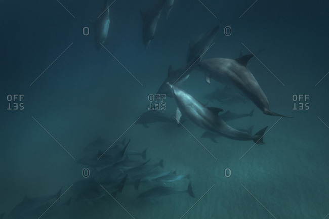 A pod of dolphins swim through the ocean