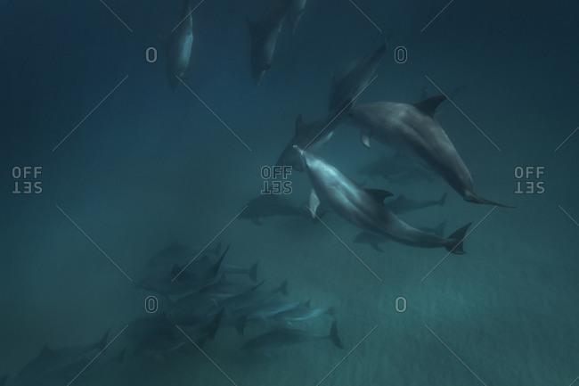 A pod of dolphins swim through the ocean