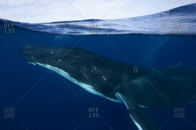A humpback whale drifts to the surface of the water