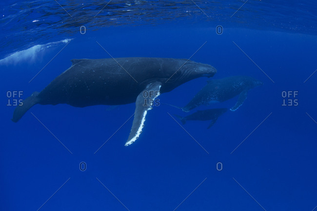 A pod of humpback whales swims through the ocean