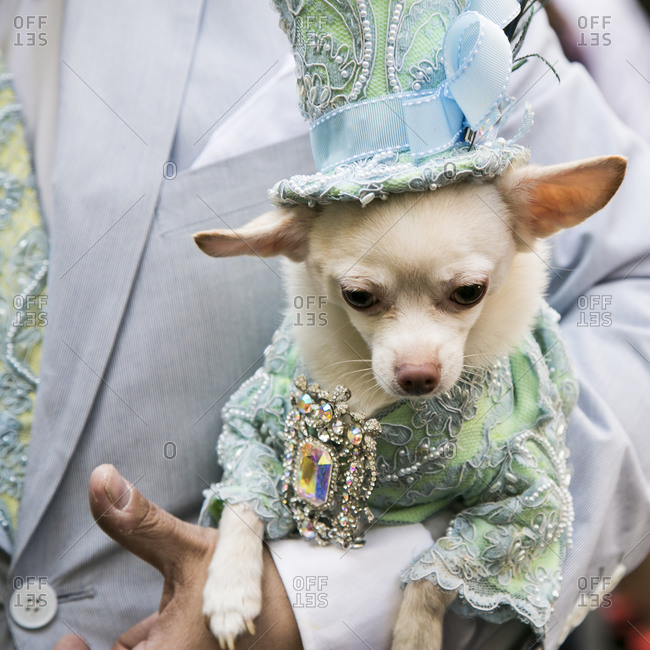 Portrait of a dressed up chihuahua dog