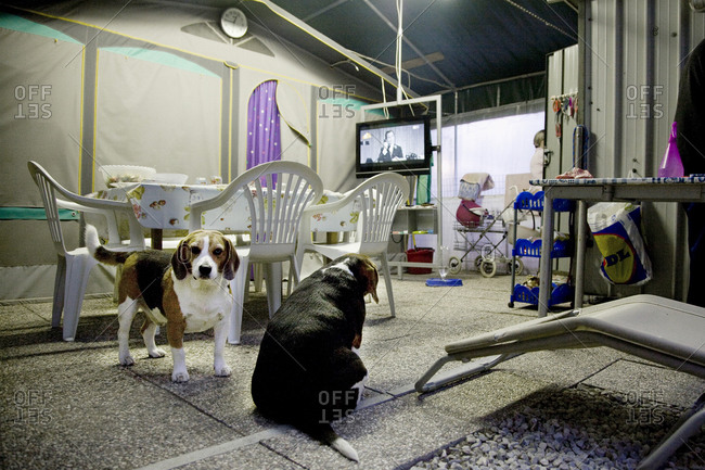 Two beagles sit inside a campsite patio, Torre del Lago, Italy