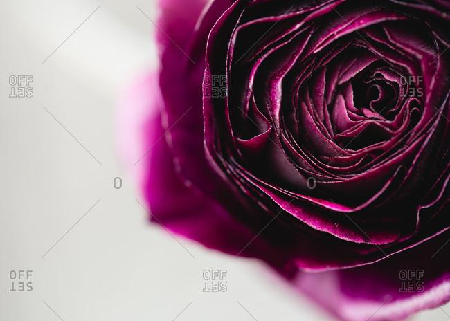 Close up of a purple rose